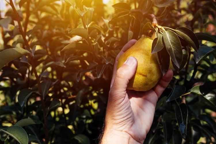 proprietà della pera