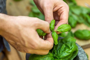 Come-fare-il-pesto-basilico-mani-pianta